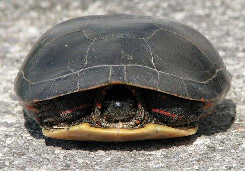 turtle hiding